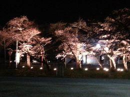 20160330 夜桜.jpg