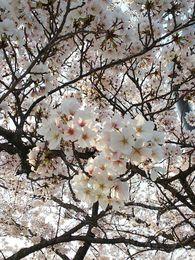20190407 桜.jpg